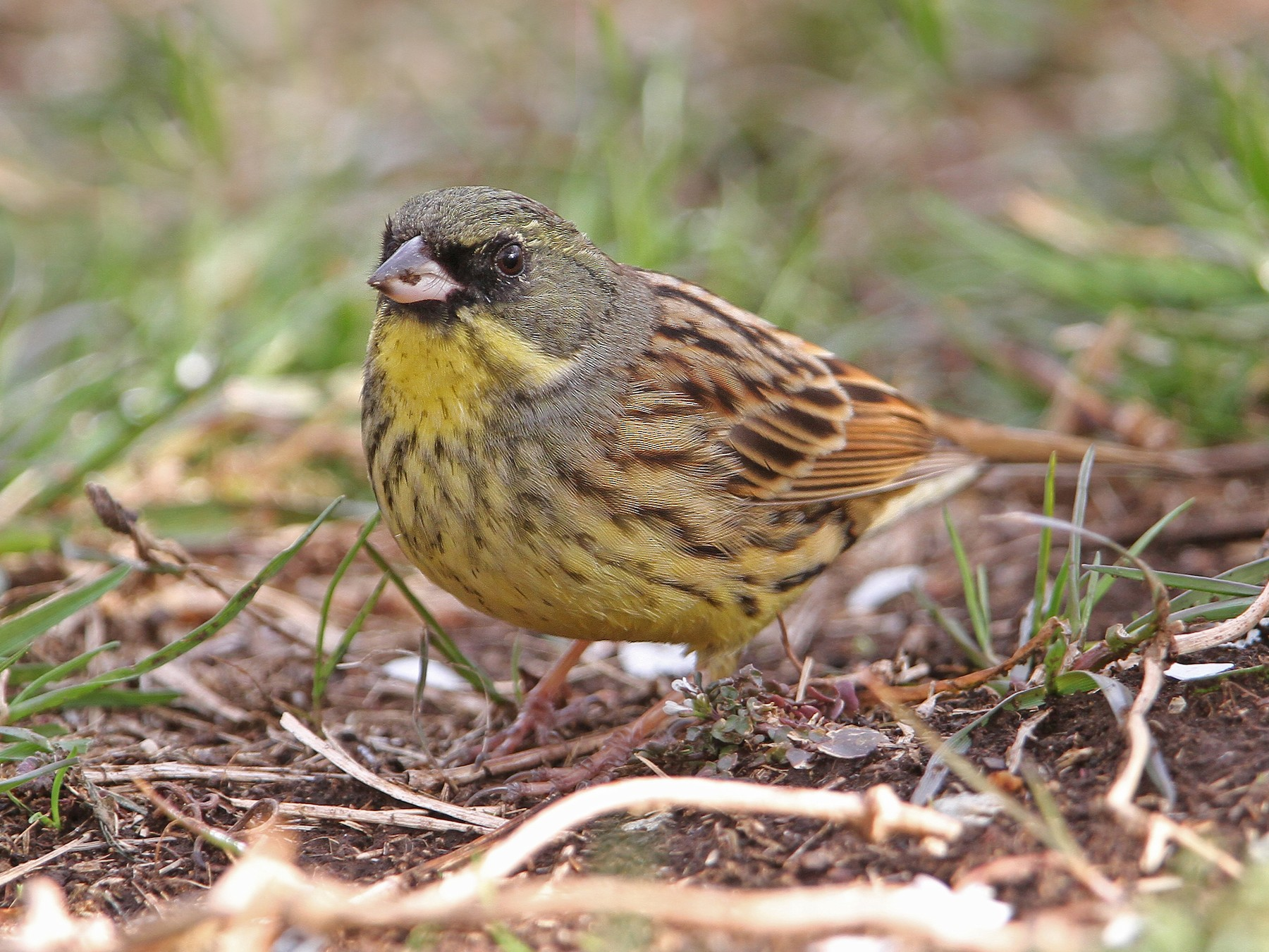 Black-faced Bunting - Christoph Moning