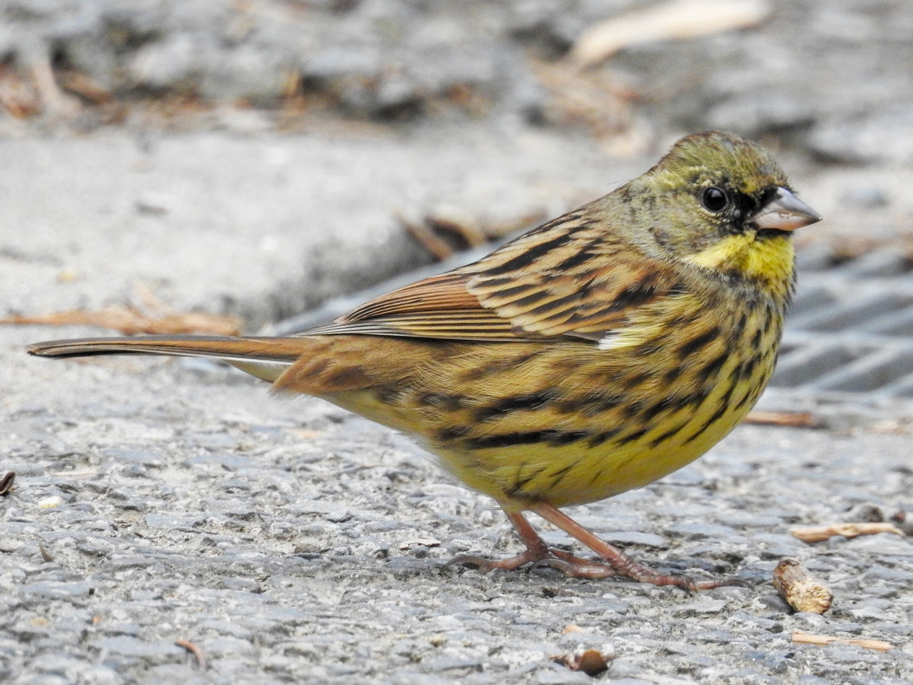 Black-faced Bunting - Anonymous eBirder