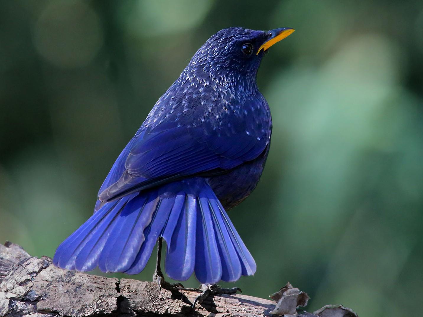 Blue Whistling-Thrush - Shah Jahan