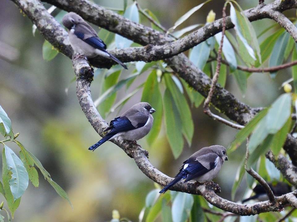 Brown Bullfinch - Dipankar  Roy