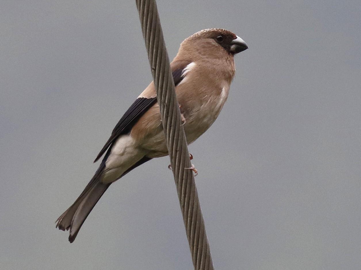 Brown Bullfinch - Dave Curtis