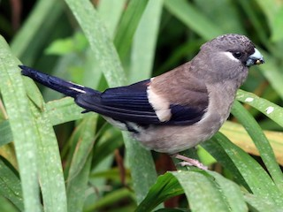 - Brown Bullfinch
