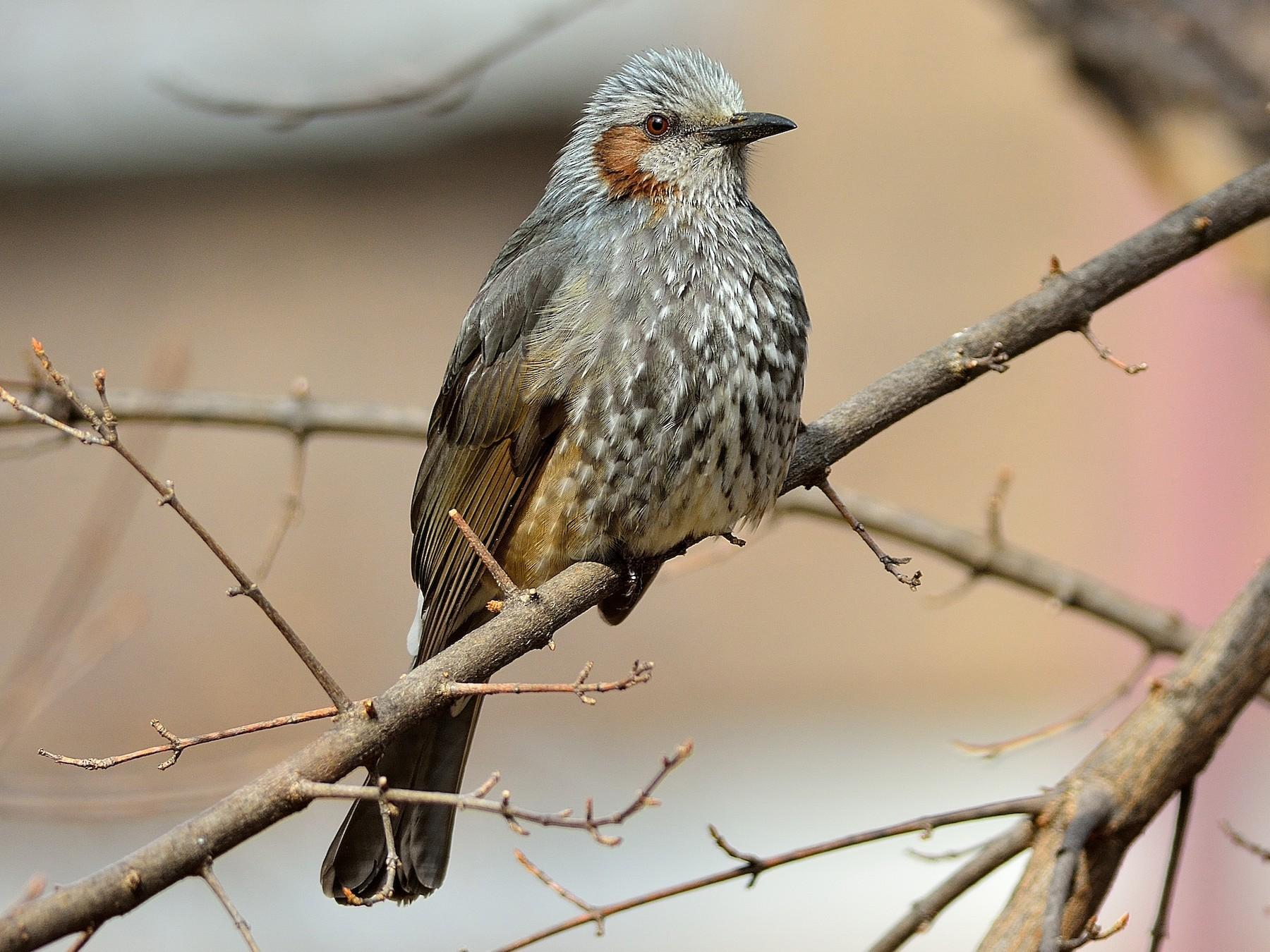 Brown-eared Bulbul - Wbird Tsai