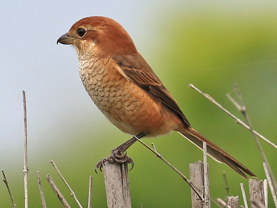 Bull-headed Shrike - ST Chien