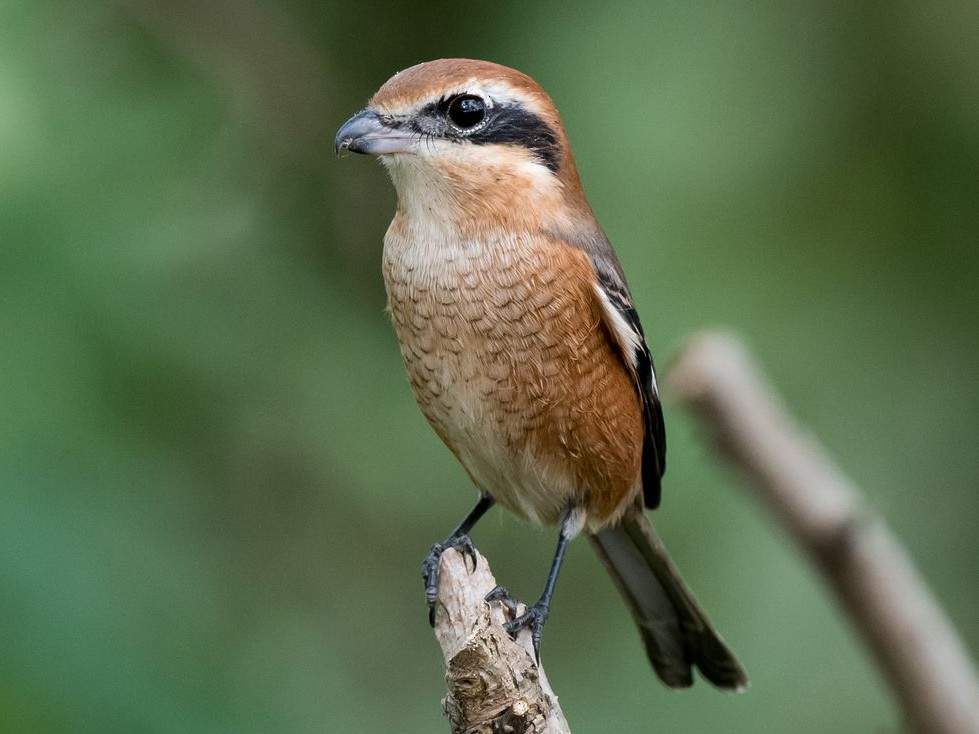 Bull-headed Shrike - Kai Pflug