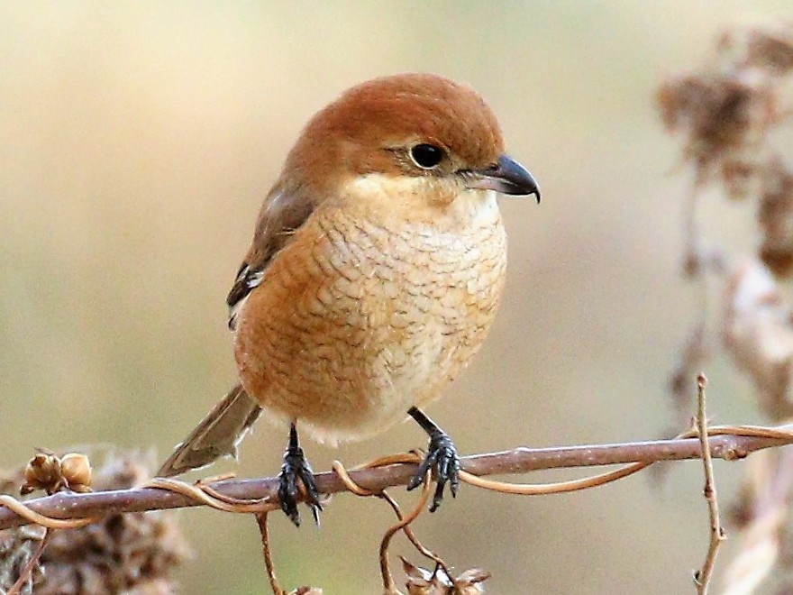 Bull-headed Shrike - Todd Hull