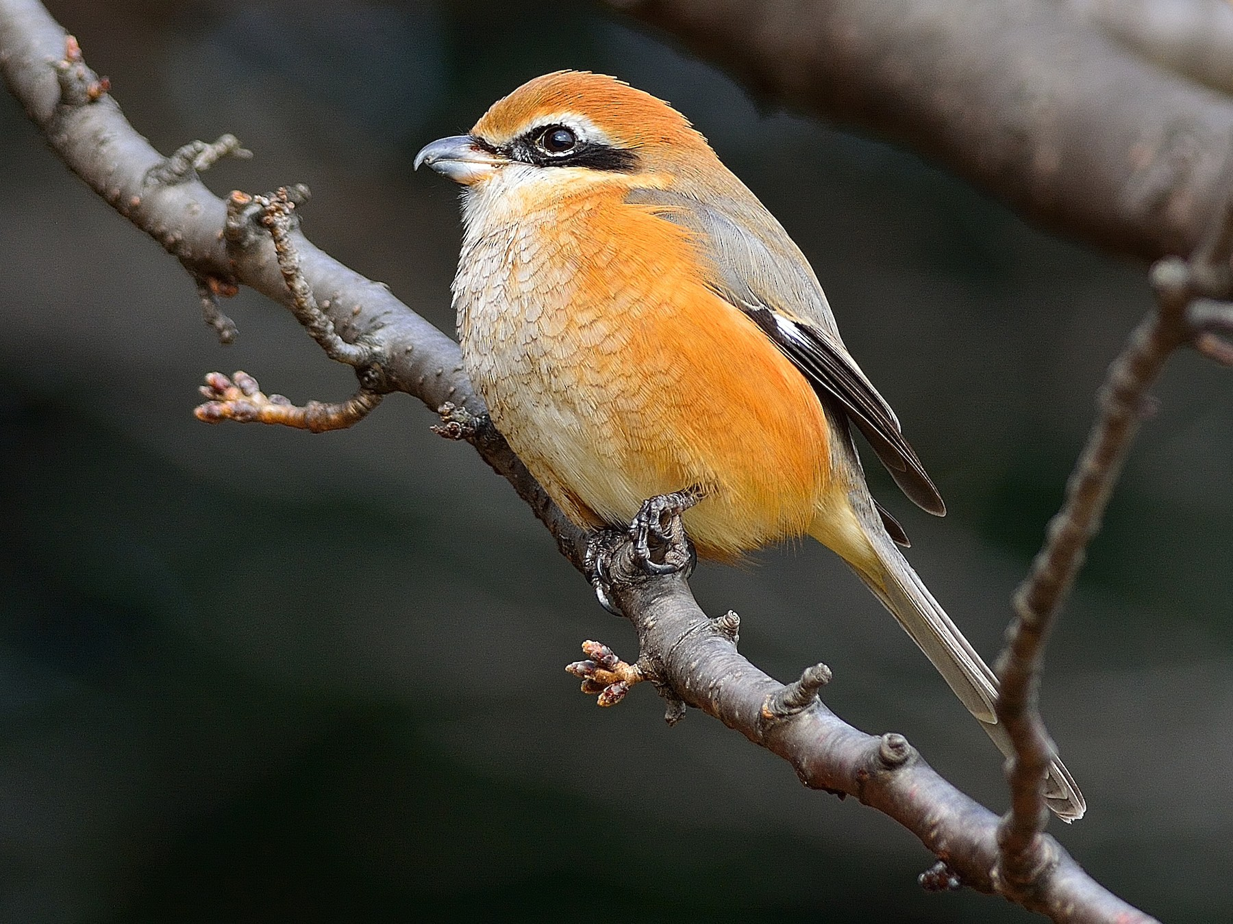Bull-headed Shrike - Wbird Tsai
