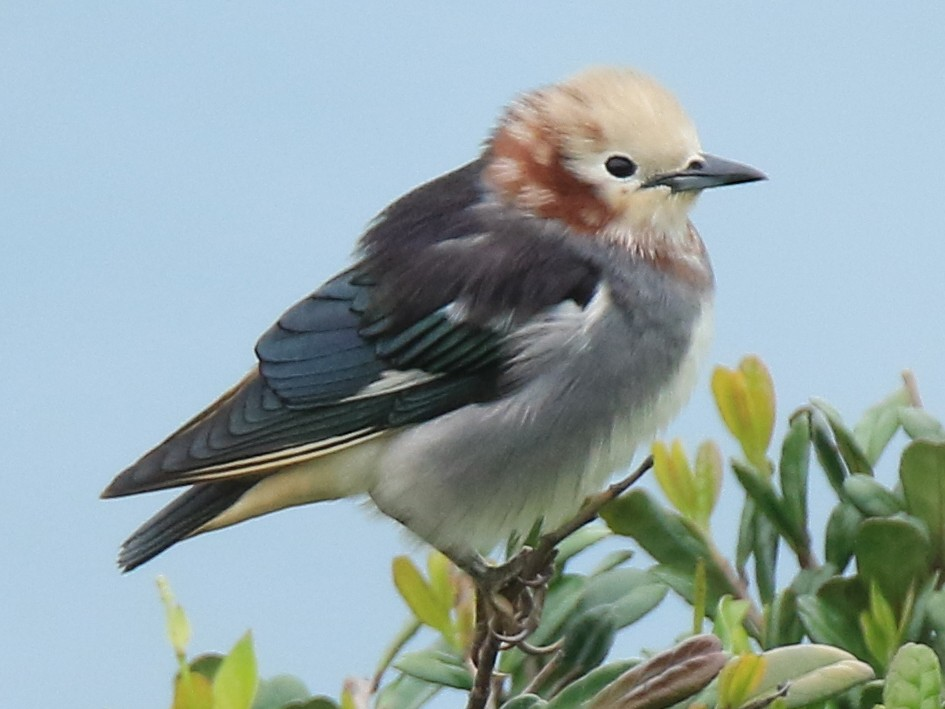 Chestnut-cheeked Starling - Allen Lyu