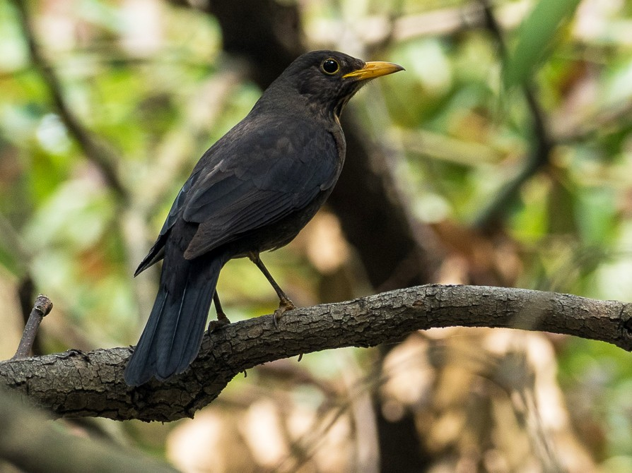 Chinese Blackbird - Forest Jarvis