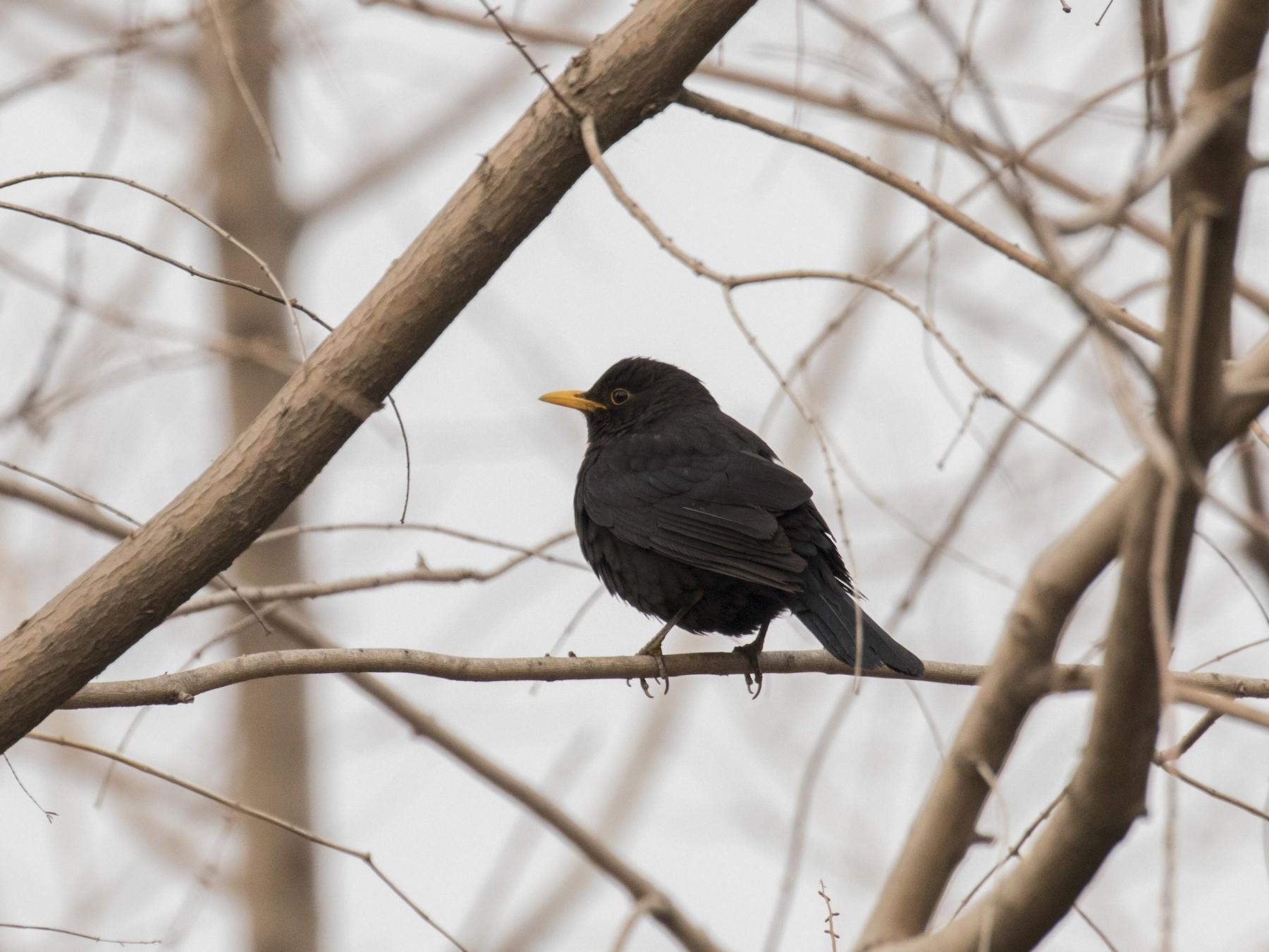 Chinese Blackbird - Zongzhuang Sanderling Liu