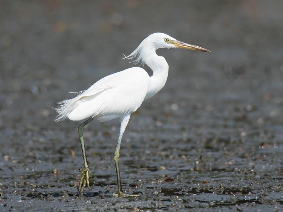 Chinese Egret - Wich'yanan Limparungpatthanakij