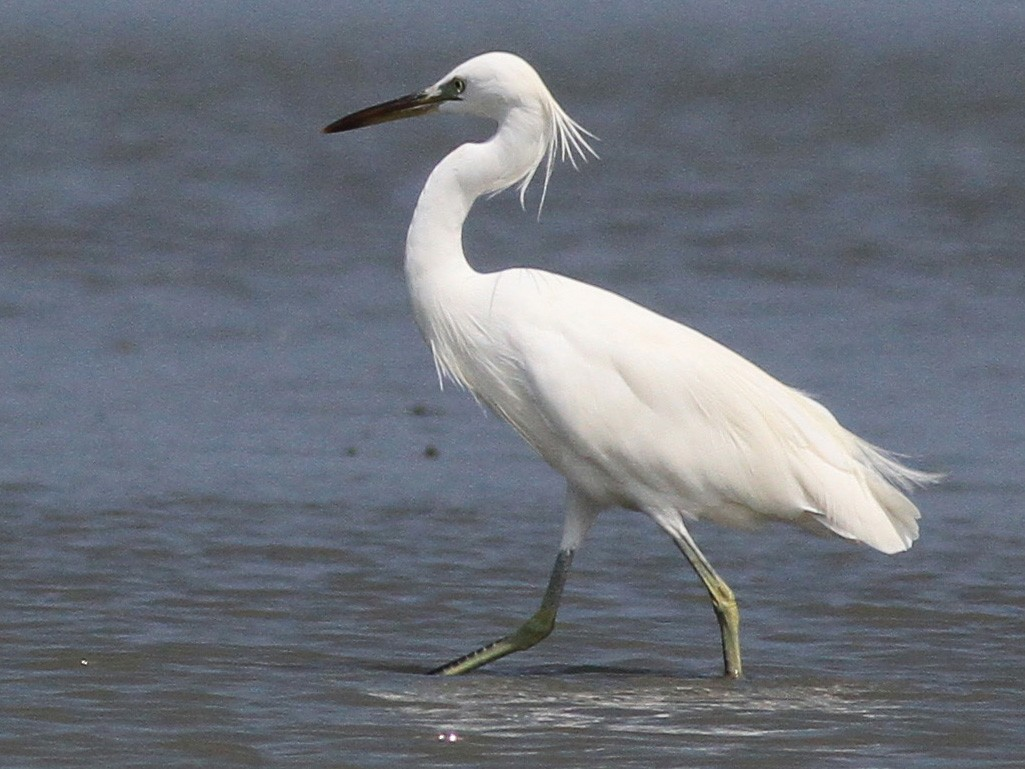 Chinese Egret - Michael McCloy
