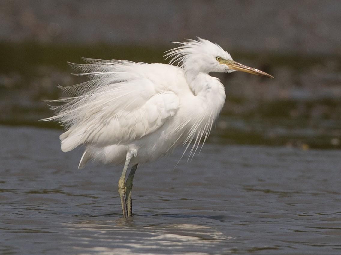 Chinese Egret - Ian Davies