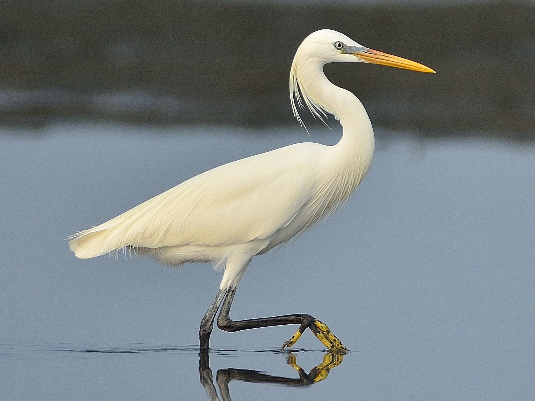 Chinese Egret - Wbird Tsai