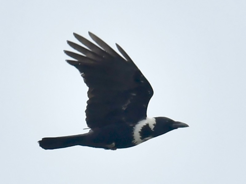 Collared Crow - Qin Huang