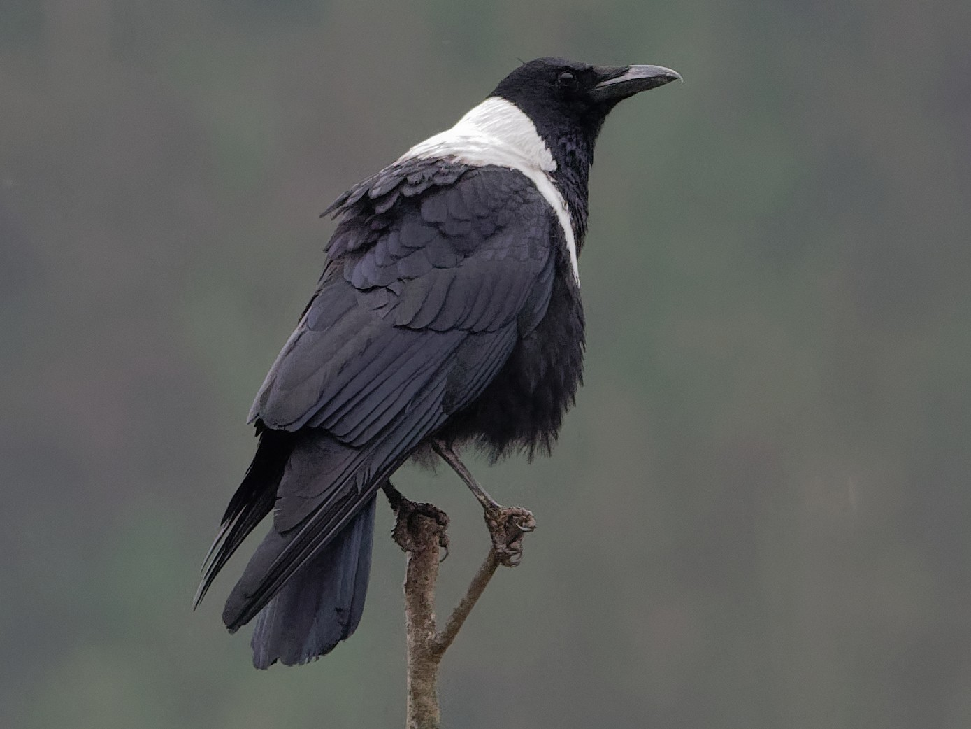 Collared Crow - Vincent Wang