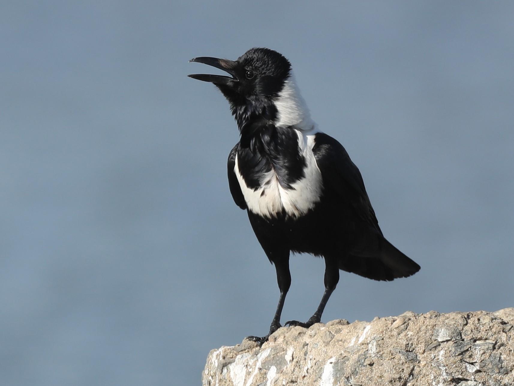Collared Crow - Ting-Wei (廷維) HUNG (洪)