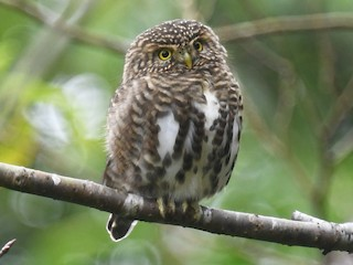 - Collared Owlet