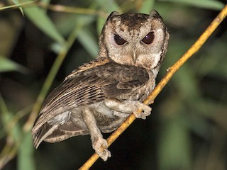 - Collared Scops-Owl