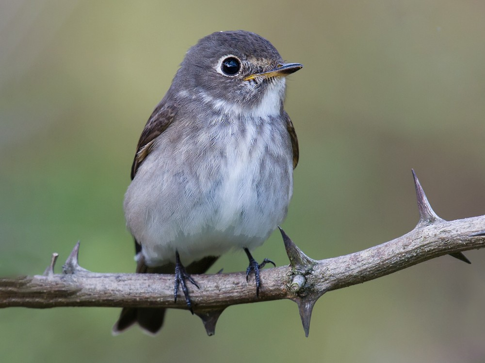 Dark-sided Flycatcher - Craig Brelsford