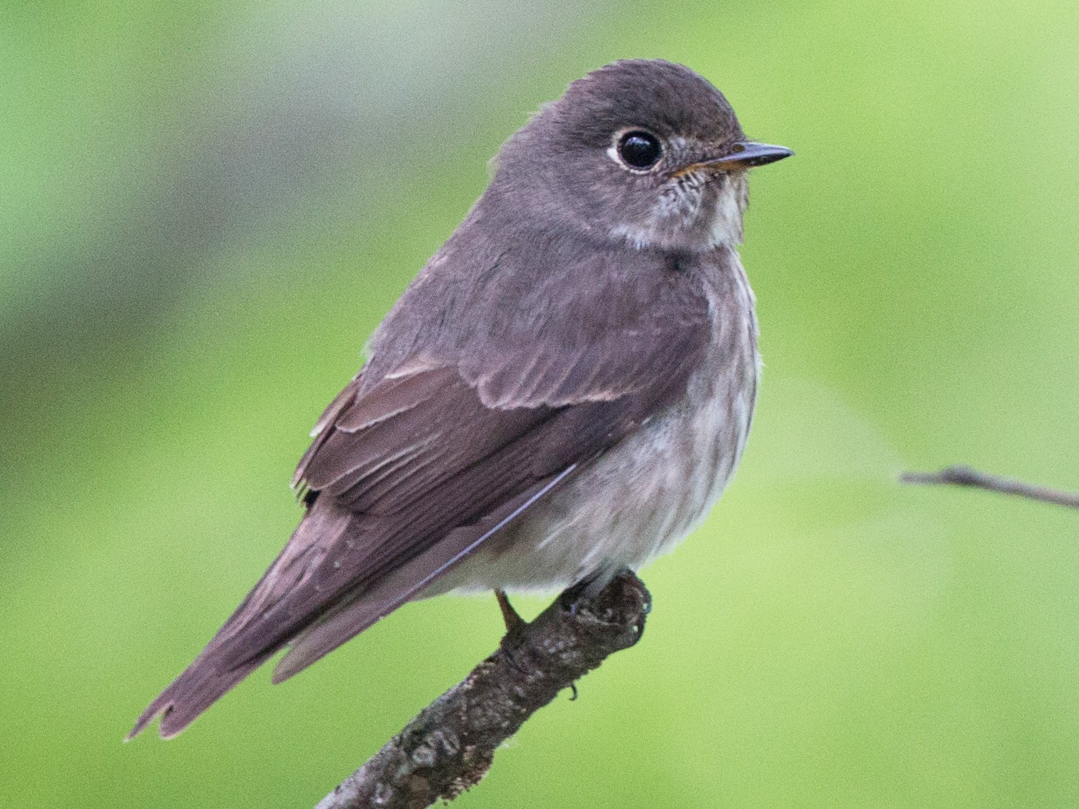 Dark-sided Flycatcher - Ian Davies