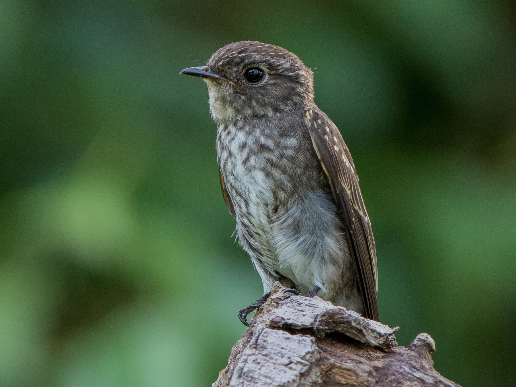 Dark-sided Flycatcher - Adrian Silas Tay