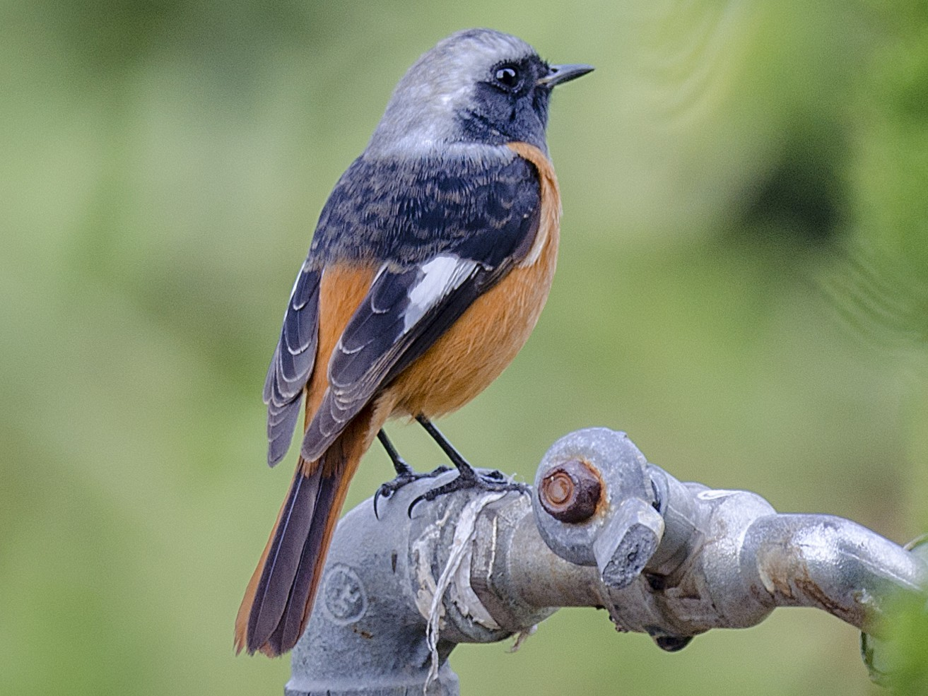 Daurian Redstart - John Clough