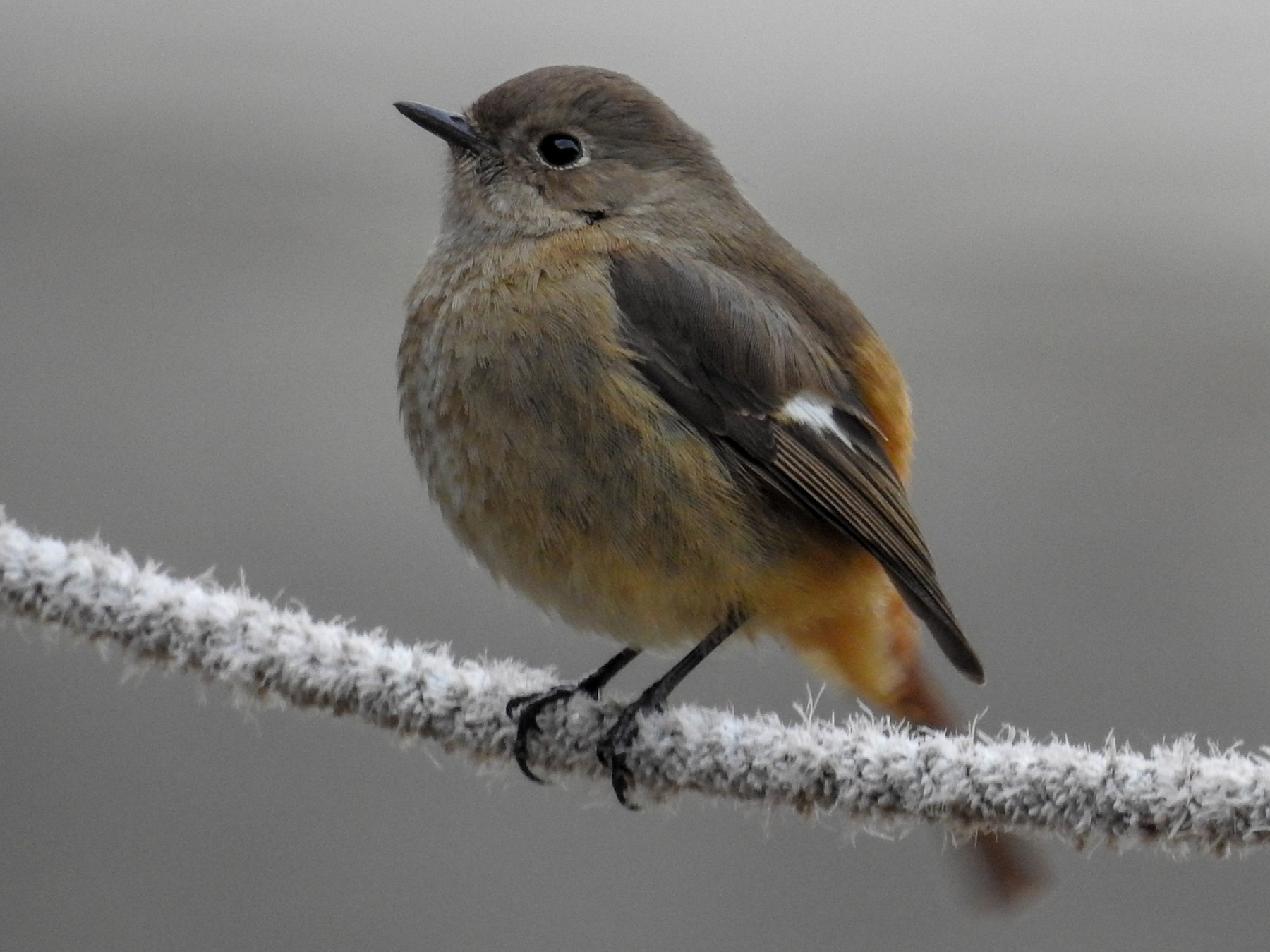 Daurian Redstart - Anonymous eBirder