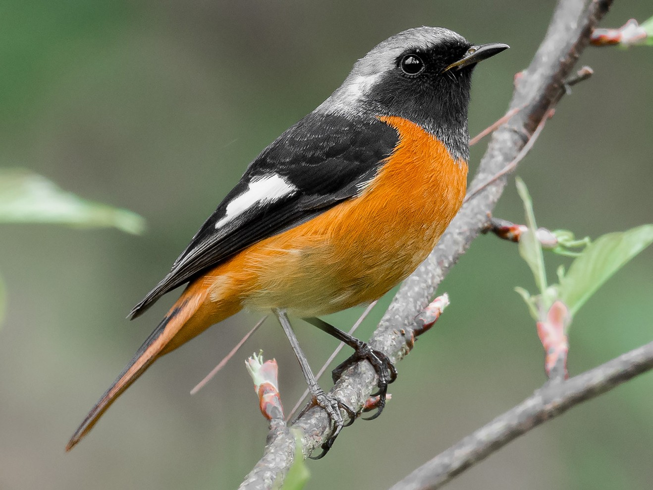 Daurian Redstart - Natthaphat Chotjuckdikul