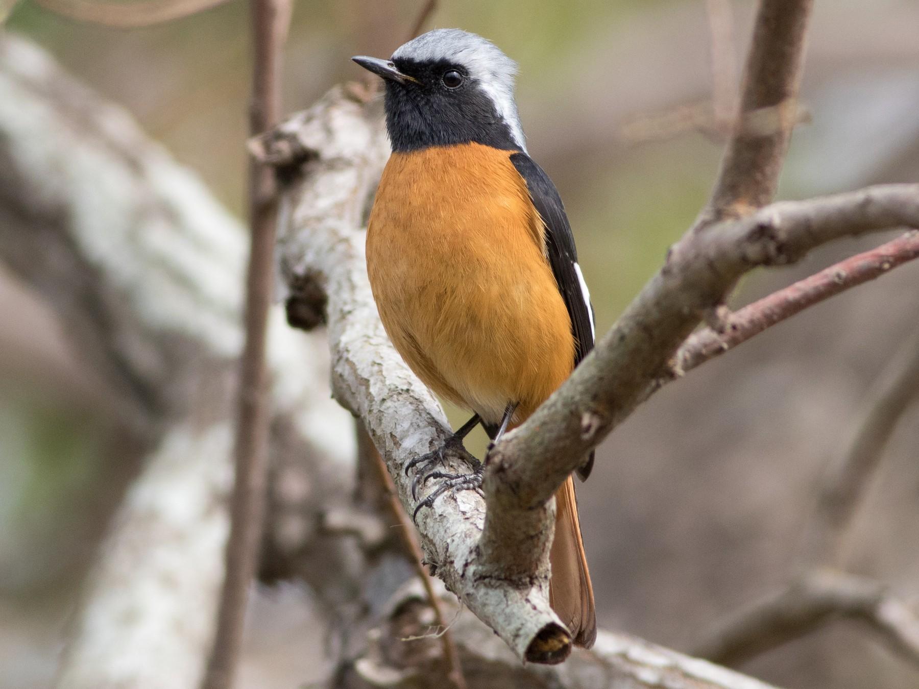 Daurian Redstart - Lucas Bobay