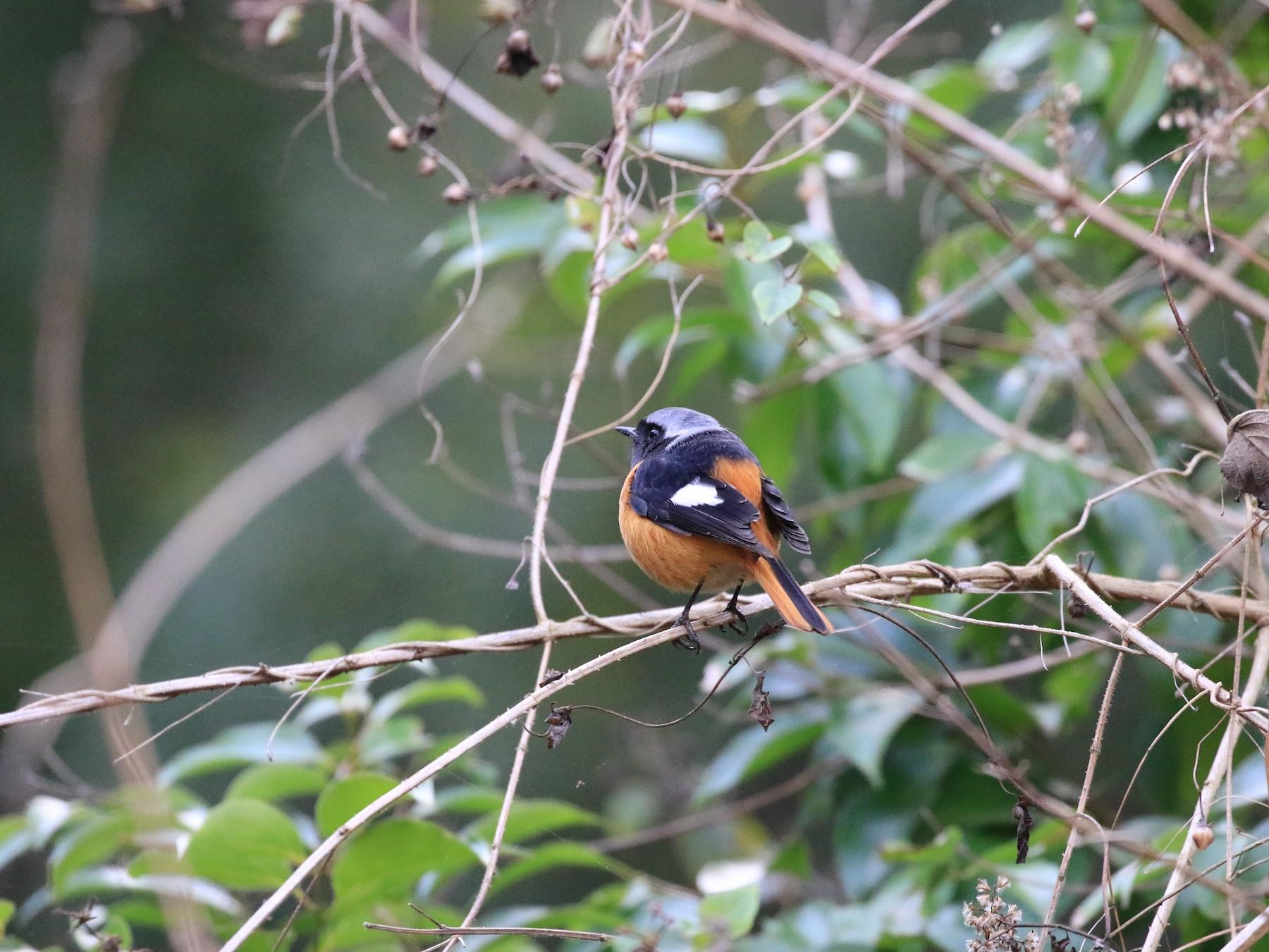 Daurian Redstart - Fang-yu Shen