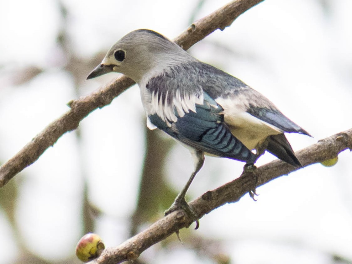 Daurian Starling - Sakkarin Sansuk
