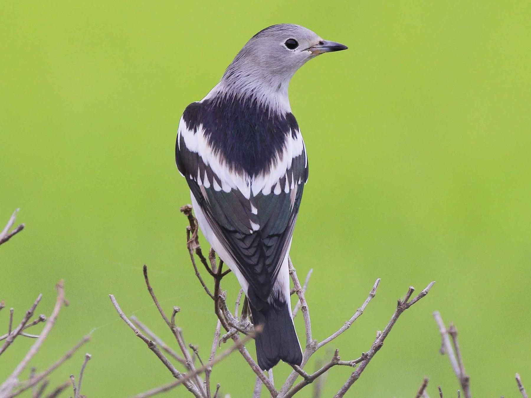 Daurian Starling - Neoh Hor Kee
