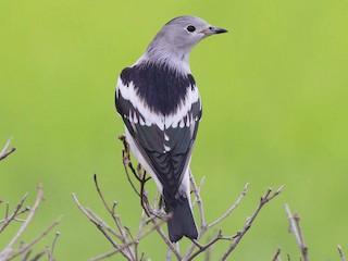 - Daurian Starling