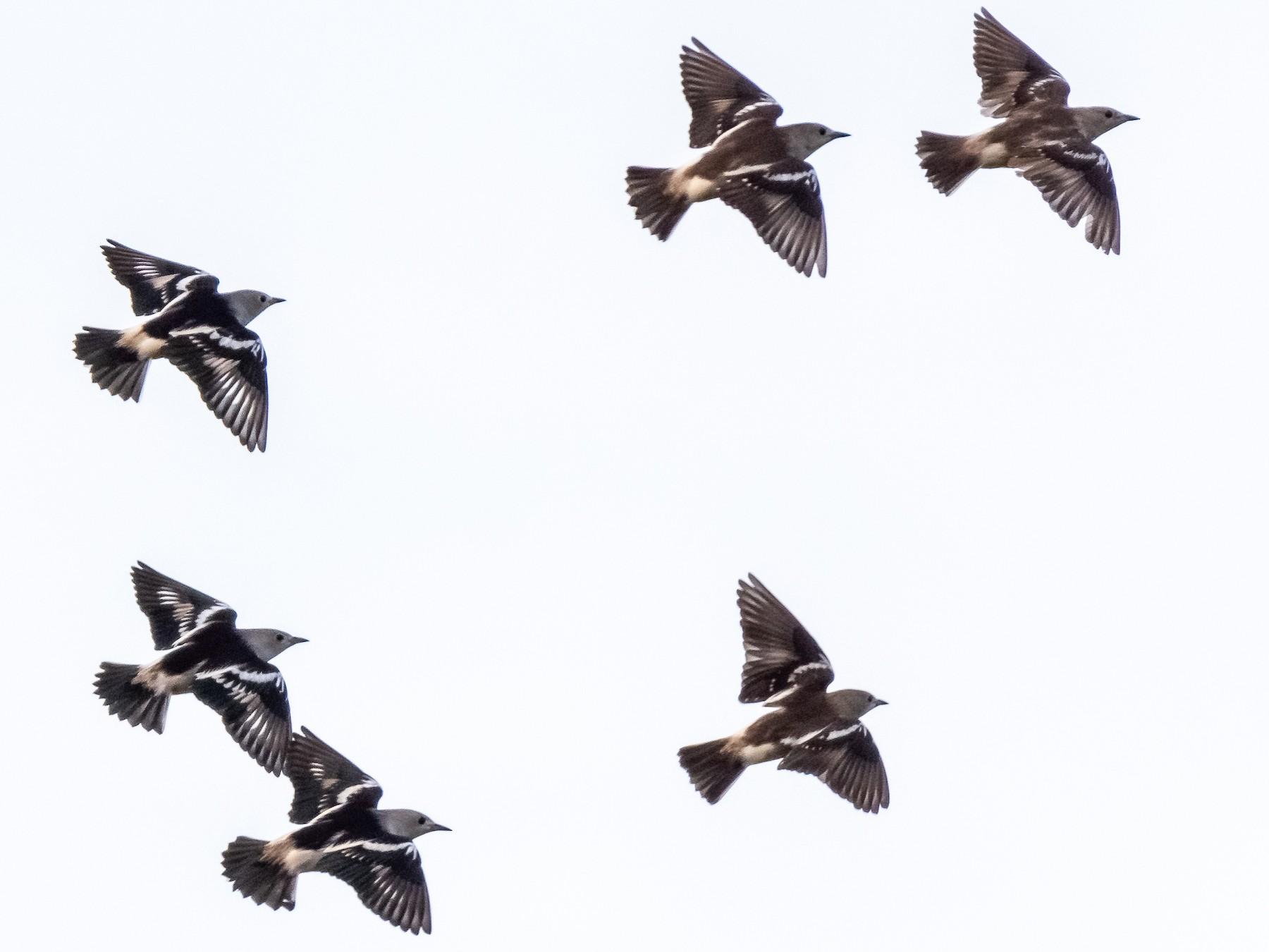 Daurian Starling - Balaji P B