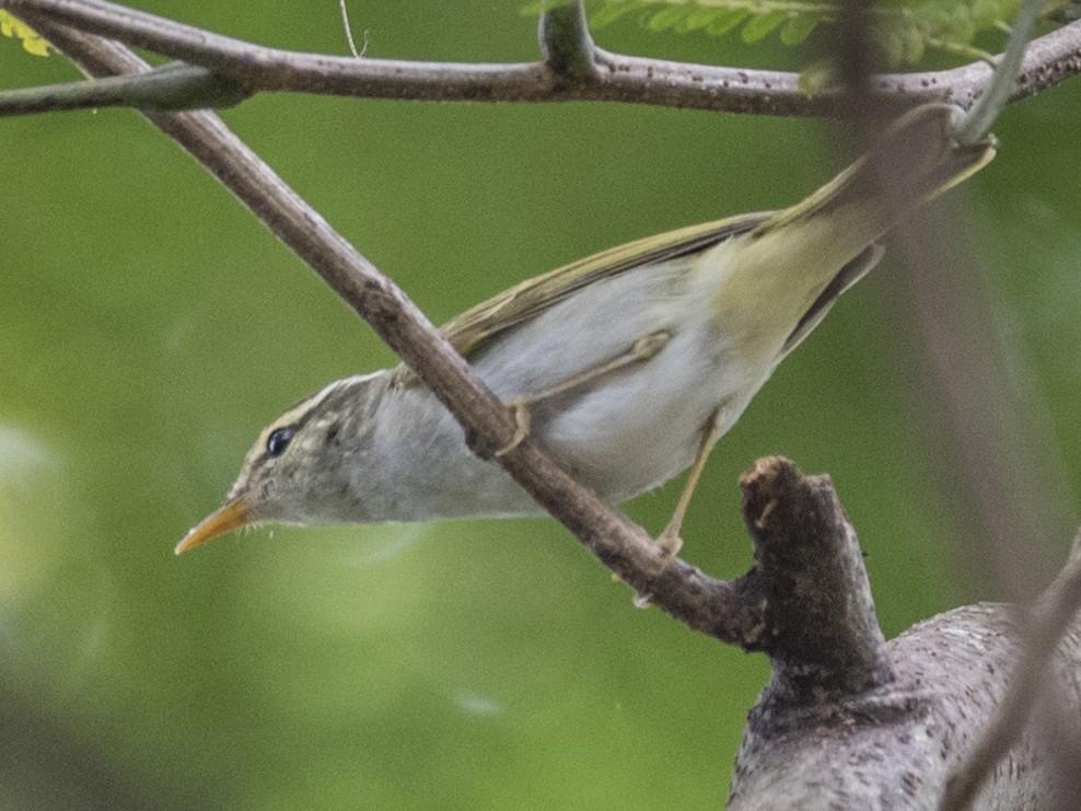 Eastern Crowned Warbler - John Clough