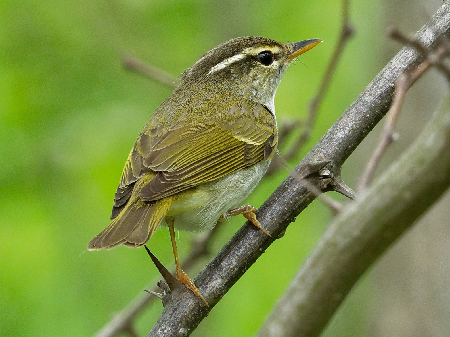 Eastern Crowned Warbler - Vincent Wang