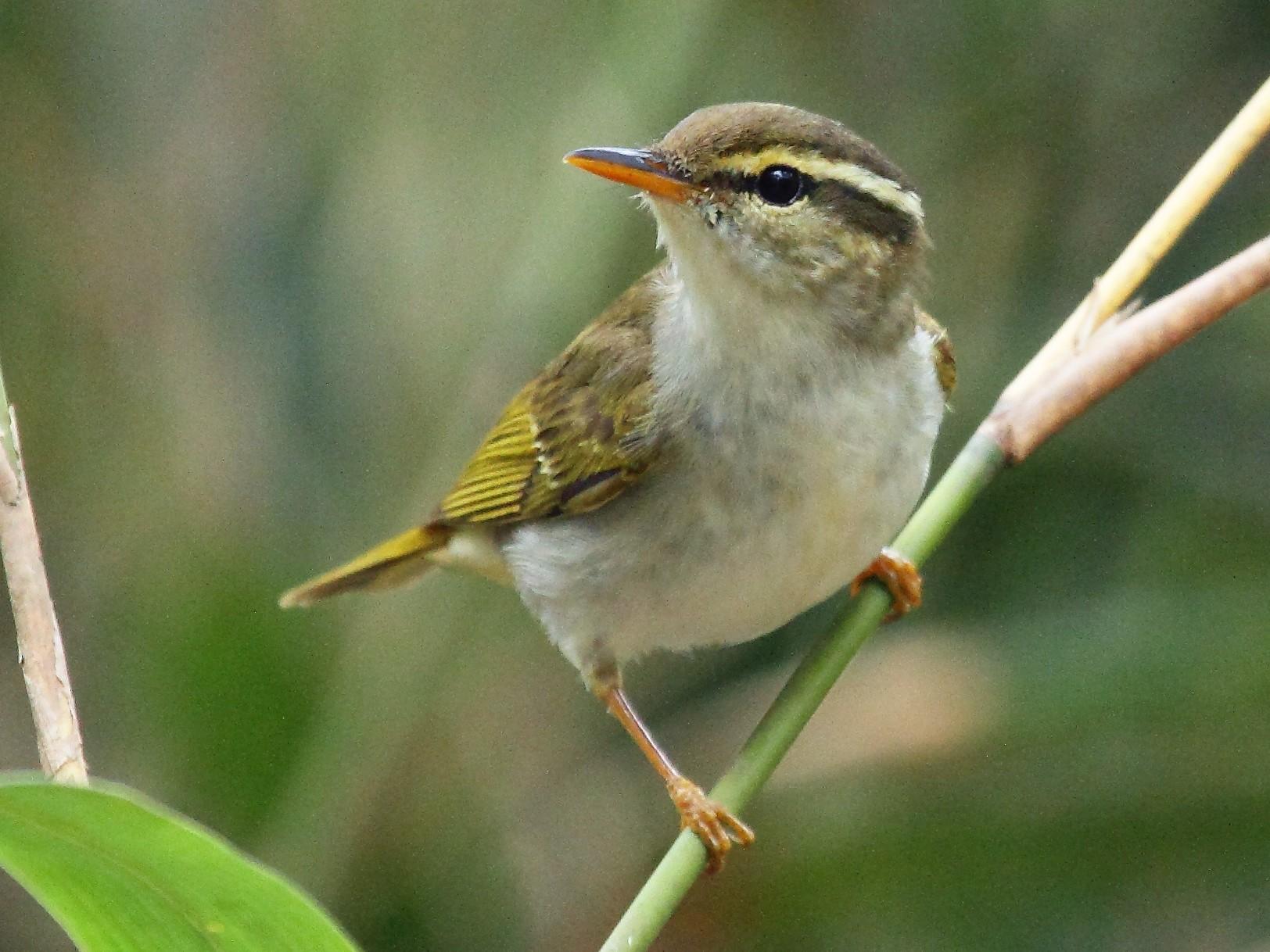 Eastern Crowned Warbler - Patrick J. Blake