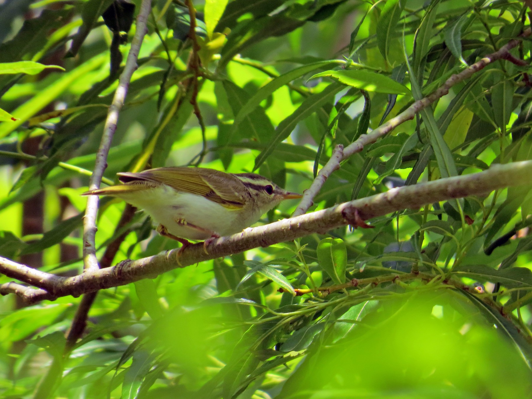Eastern Crowned Warbler - Eric Haskell