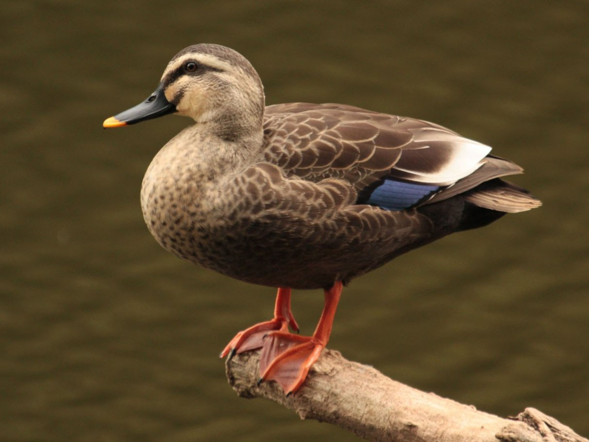 Eastern Spot-billed Duck - Aaron Maizlish