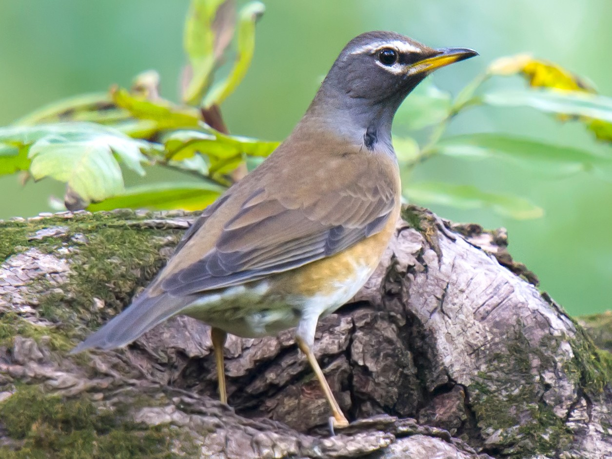 Eyebrowed Thrush - Craig Brelsford