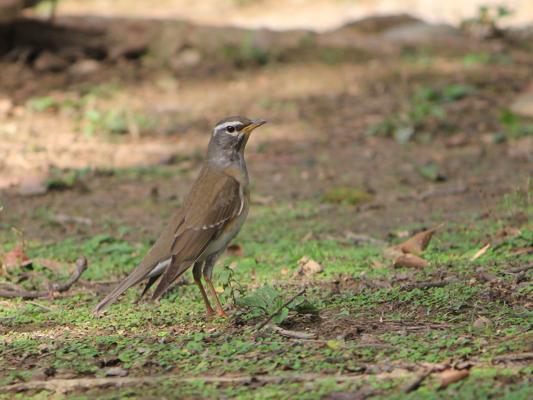 Eyebrowed Thrush - Allen Lyu