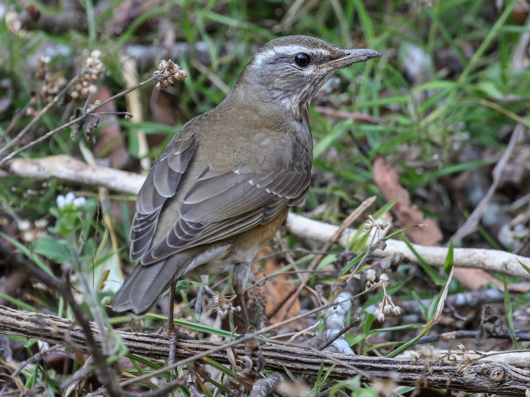 Eyebrowed Thrush - Blair Dudeck