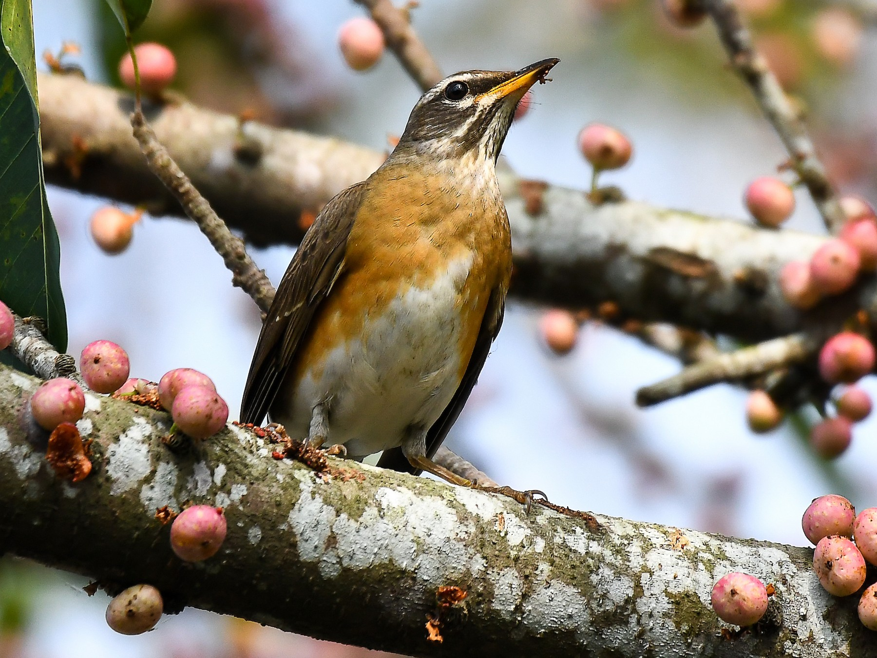 Eyebrowed Thrush - Cheng-Ru Tsai