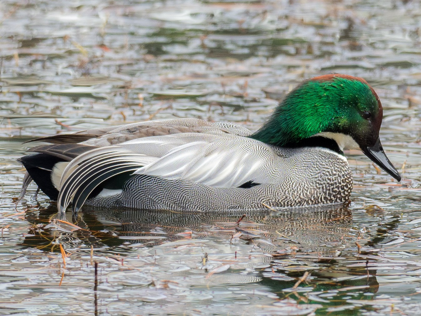 Falcated Duck - yann muzika