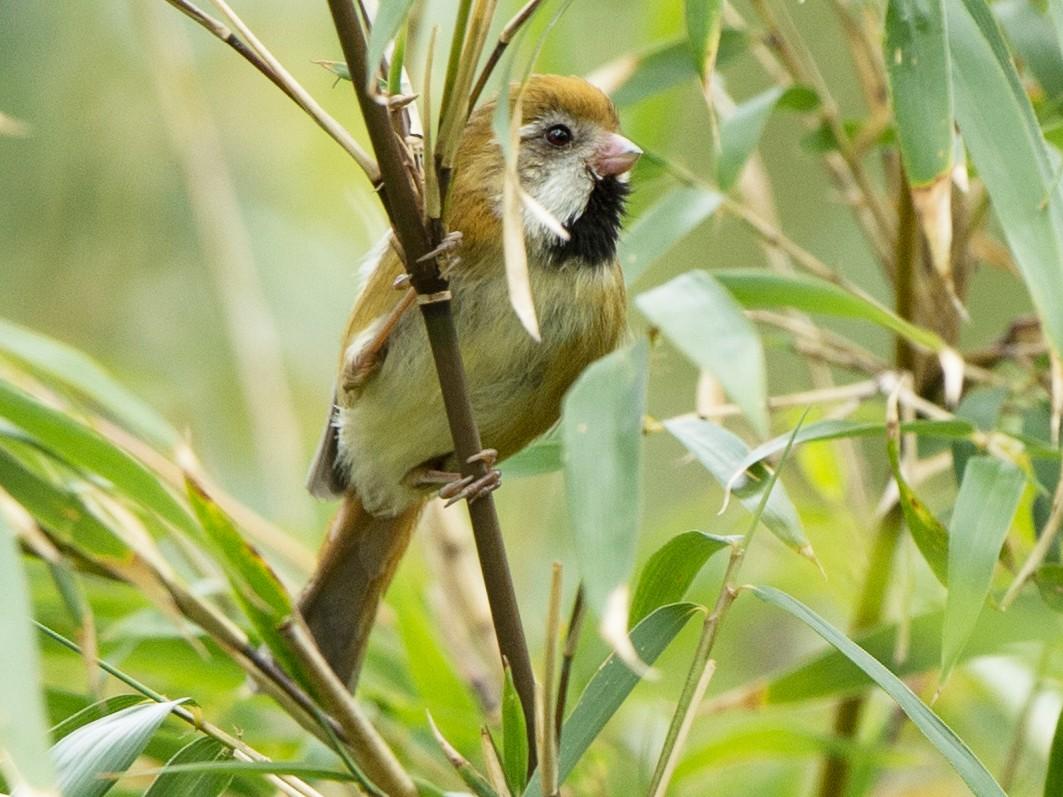 Golden Parrotbill - jimmy Yao