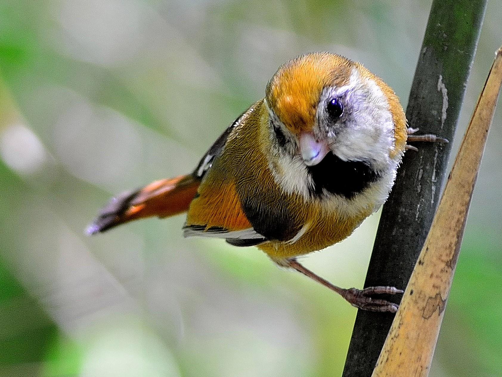 Golden Parrotbill - Wbird Tsai