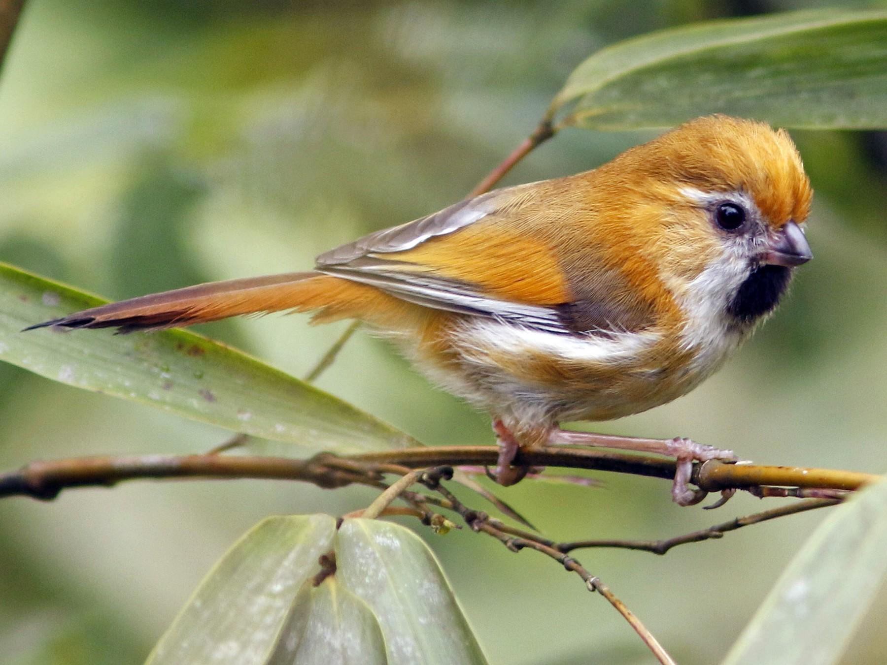 Golden Parrotbill - David Beadle