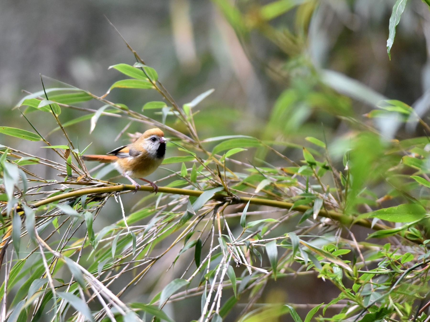 Golden Parrotbill - Zhao-Hui(釗輝) LIN(林)