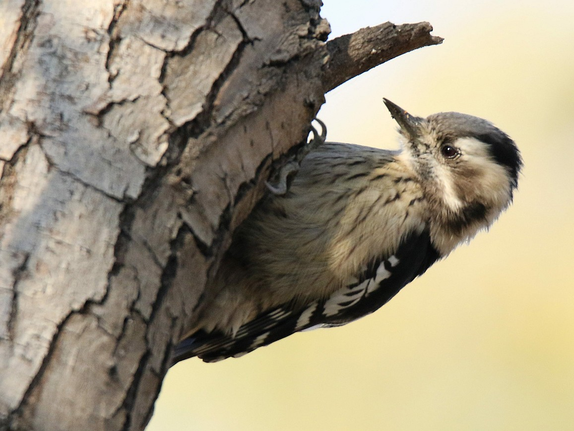 Gray-capped Woodpecker - 茶 茶丸